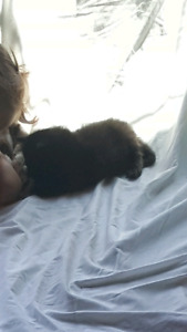 Black long hair kittens
