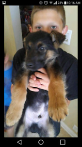 Shepherd pup if add is still up then still have him