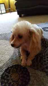 Small Female Toy Poodle 7 yrs old