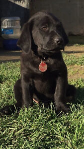 Lab x Golden Retriever (male)