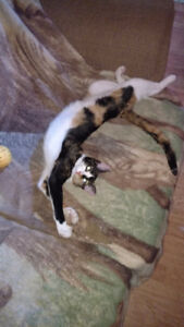 free calico female cat