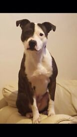 Staffy Cross in Need of a Loving forever home