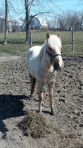 étalon poney à vendre