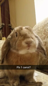 Looking for FEMALE SPAYED Rabbit