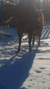 Papered quarter horse Mare for sale