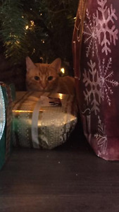 LOST Orange with white indoor male cat 2 years old