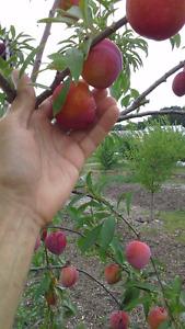 Arbres fruitiers. vergerpepiniere.com