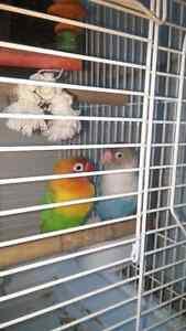 Inséparables avec cages