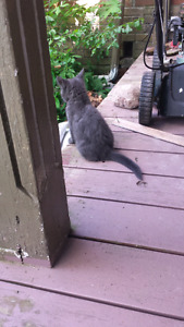 Sweet grey kitten
