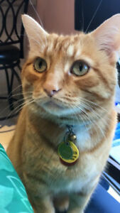 Lost Orange Tabby Cat in Markham Area (Kennedy and Steeles)