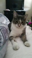 LOST CAT - GREY & WHITE TABBY MISSING FROM SADDLERIDGE AREA