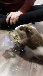2 male guinea pigs need a new home!