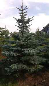 10ft Spruce Trees delivered and planted $325.00