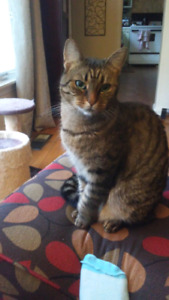 Adorable adult Tabby cat. Healthy and spayed.