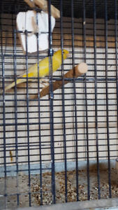NICE canary  AND cages FOR  sale