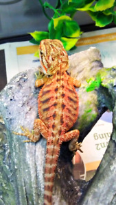 Speciality morph bearded dragons