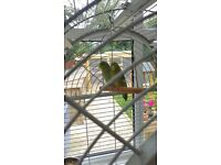 Celestial parrotlets with cage