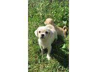 Gorgeous shih tzu X Jack Russell puppies for sale