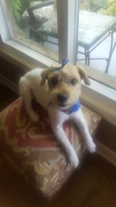 Jack Russell (Port Credit area) FOUND and SAFE