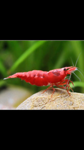 Looking for Cherry Shrimp