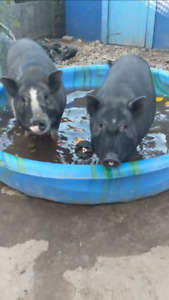 2 pigs free for adoption to good home (companions NOT FOOD)