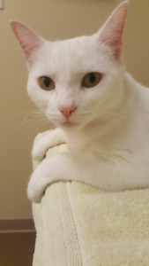 "Missing white female cat ""Bones"" - South end Halifax"
