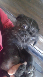 Last little girl ready for her new home pug cross shitzue