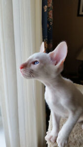 1 REGISTERED CLASSIC FLAME POINT SIAMESE KITTEN STILL AVAILABLE