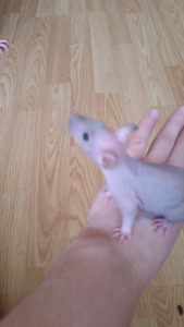 Rats: Double Rex Hairless.