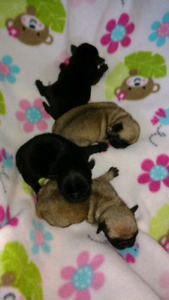 Black and fawn Pug puppies - 3 girls and 2 boys