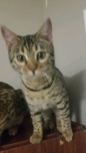 6 month old female Bengal kitten