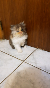 Purebred Persian kittens ready to go today