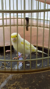 Canary male with cage for sale (2018)