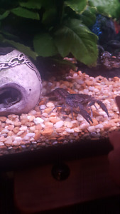 Pet Lobsters!! ( Crayfish )