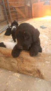 Sheepadoodle Puppys