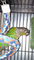Green Cheek Conure and Cage