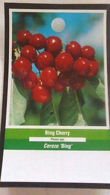 Fruit Tree Orchard - 4ft live Bing Cherry Tree Sweet Fruit Cherries Trees Plants Garden Orchard Plant
