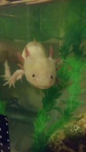 Adult male axolotl