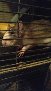 Ratte femelle