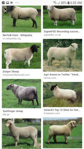 Sheep wanted looking for pregnant ewes or ewes