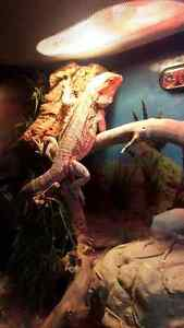 male bearded dragon full set up tank and stand