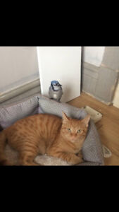 Oranges - Lost Male Cat - Orange Tabby Shorthair