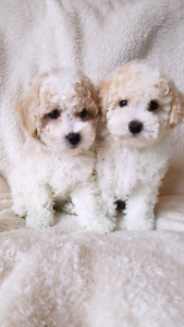 Stunning toy poodle puppies!!!