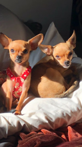 2 Chihuahuas 1male 1female Looking for their Diva home ..