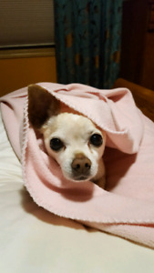 I am looking to adopt a chihuhua