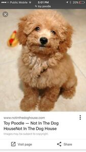 Wanted a toy poodle