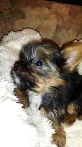 CKC registered Yorkshire Terriers and one Parti Yorkie - F/M