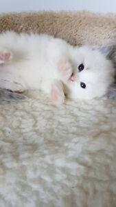 Ready for Christmas- Registered Ragdoll Kittens