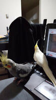 2 Cockatiels male and female