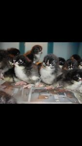 Looking for French black copper chicks any age